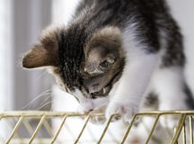 A beautiful tabby kitten playing on a bird cage Stock Image
