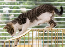 A beautiful tabby kitten playing on a bird cage Royalty Free Stock Images