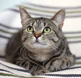 Beautiful  tabby shorthair cat Royalty Free Stock Images