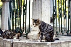 Beautiful tabby / striped stray cats. Stock Photography