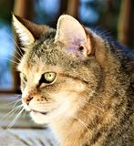 Beautiful tabby torti intensley watching squirrells stock image
