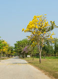 Beautiful Tabebuia road Royalty Free Stock Photo