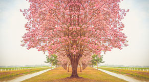 Beautiful Tabebuia rosea tree, pink flower blooming in garden Royalty Free Stock Photo