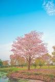 Beautiful Tabebuia rosea tree, pink flower blooming in garden royalty free stock photo