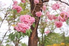 Beautiful Tabebuia rosea or Trumpet trees blooming in spring season. Pink flower in park.  royalty free stock photo