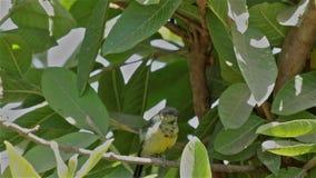 A beautiful Tacazze Sunbird on a twig stock footage