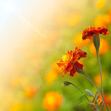 Beautiful tagetes Stock Photos