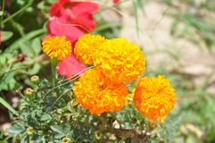Beautiful tagetes patula branches and buds. This photo has been taken at mirpur national park stock photos