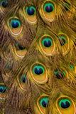 Radiant, inviting peacock plumage stock photo