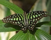 Tailed Jay sitting on a large green leaf in the greenhouse. Beautiful Tailed Jay- Graphium Agamemnon butterfly sitting on a large green leaf Stock Photo