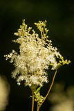 A beautiful tall filipendula blossoming near the forest. Relaxing herbal tea. Stock Photos