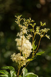 A beautiful tall filipendula blossoming near the forest. Relaxing herbal tea. Stock Image