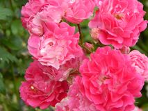 Beautiful, tall garden plant - weaving red rose royalty free stock images