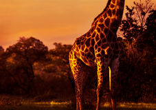 Beautiful tall giraffe Royalty Free Stock Photo