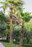 Beautiful tall palm trees on site in the garden, with lawns and flowers stock image