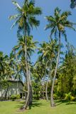 Beautiful tall palm trees at the tropical island. At Maldives Royalty Free Stock Images