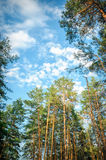 Beautiful tall pine trees in the forest against the sky Royalty Free Stock Image