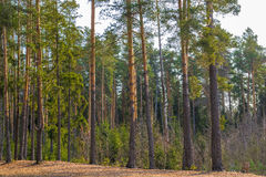 Beautiful tall pine trees on a sunny day Royalty Free Stock Images