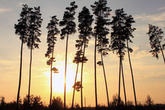 Beautiful tall pine trees at sunset Stock Images