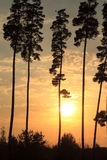 Beautiful tall pine trees at sunset Royalty Free Stock Photography