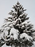 Beautiful tall spruce tree in wintertime covered in thick new snow in the arctic circle Royalty Free Stock Photos