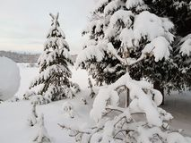 Beautiful tall spruce tree in wintertime covered in thick new snow in the arctic circle Stock Photos