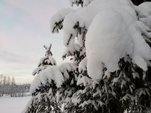 Beautiful tall spruce tree in wintertime covered in thick new snow in the arctic circle Stock Images