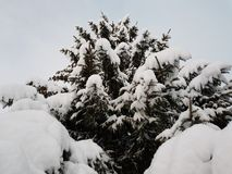 Beautiful tall spruce tree in wintertime covered in thick new snow in the arctic circle Stock Photo