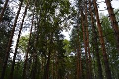 Beautiful and tall trees in the forest royalty free stock photography