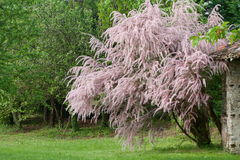 Beautiful tamarix in bloom. In the wild Royalty Free Stock Photography