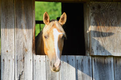 Beautiful tan horse watches from a barn window. Royalty Free Stock Photos