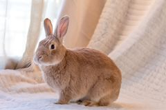 Beautiful tan and rufous domestic bunny rabbit surrounded by plush fabrics in muted palette. S stock images