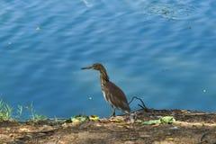 A beautiful tan and white heron bird, fishing along a waterway shore in a lush Thai garden park. royalty free stock photos