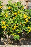 Beautiful tangerine tree with ripe fruits in the garden Stock Photo