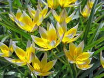 Beautiful tarda tulips in blooming. Diminutive tarda tulips of yellow and white color in spring garden Royalty Free Stock Photo
