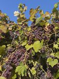 Beautiful tasty red grapes Royalty Free Stock Photography