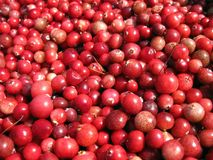 Red ripe cranberry , Lithuania Royalty Free Stock Photos