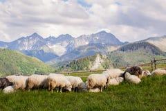 Beautiful Tatry Rusinowa Polana landscape. Beautiful panorama in Tatry mountains glade, Rusinowa Polana. Open air sheeps rearing stock photo