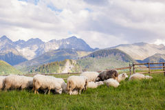 Beautiful Tatry Rusinowa Polana landscape. Beautiful panorama in Tatry mountains glade, Rusinowa Polana. Open air sheeps rearing stock photography