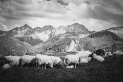 Beautiful Tatry Rusinowa Polana landscape. Beautiful panorama in Tatry mountains glade, Rusinowa Polana. Open air sheeps rearing in black and white royalty free stock photography