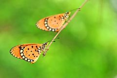 Beautiful Tawny Coster. Butterfly sitting in Pairs royalty free stock image