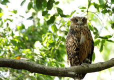 Beautiful Tawny Fish Owl perched on a tree Stock Photo