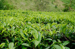 Beautiful tea farm Stock Images