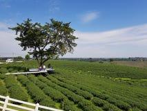 Tea Tree. Beautiful Tea garden stock photography