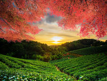 Beautiful tea garden w nice maple Royalty Free Stock Photos