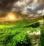 Beautiful tea plantation sunset Stock Photo