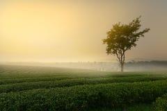 Beautiful tea plantation and tree Stock Photo