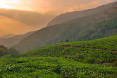 Tea plantations in Munnar, Kerala, India Royalty Free Stock Photo