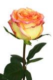 Beautiful tea-rose Royalty Free Stock Photos
