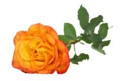 Beautiful Tea rose Stock Photo